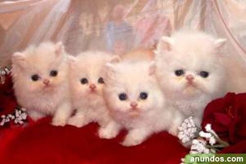 Elegantes Gatos Persa Para Nuevas Vivie Alegr A De Lava