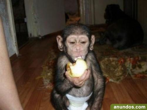 Venta de monos chimpances en españa