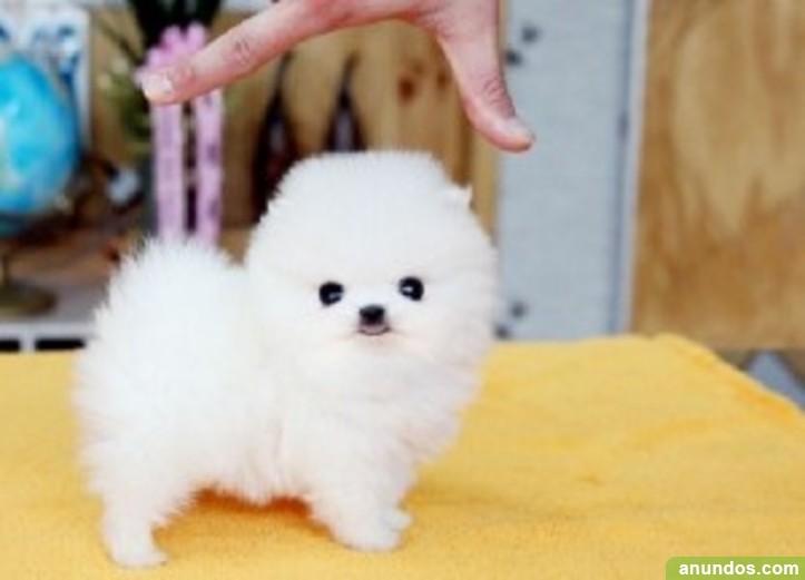 Toy Dog Breeds That Stay Small : Cachorros pomeranian lindo y adorable para adopción aramaio