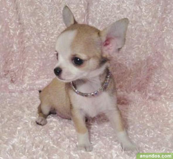 Regalo maravilloso pura raza chihuahua cachorros for Regalo a chi