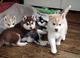 Seleccion husky siberiano con pedigree