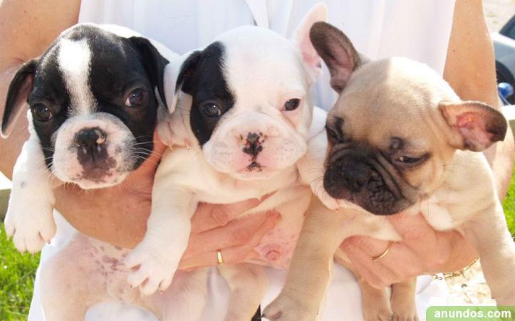 Camadas de bulldog frances