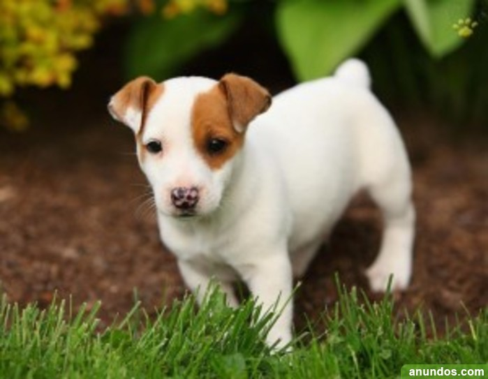 Cachorros Jack Russell Terrier Para Adopci N Ademuz