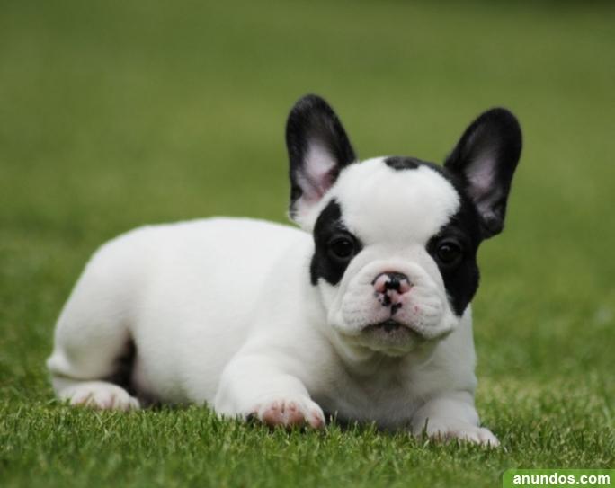 Islas baleares regalo cachorros de bulldog frances palma - Bulldog frances gratis madrid ...