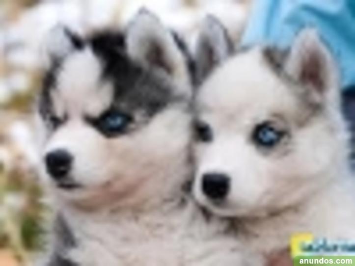 Regalo Cachorros De Husky Son De Pura Raza Moya Las Palmas