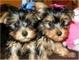 Cachorrita de yorkshire terrier