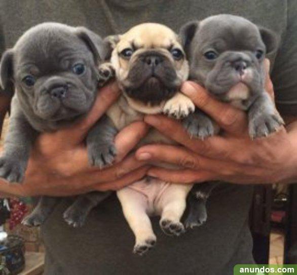 Bulldog francés listos para entregar barato