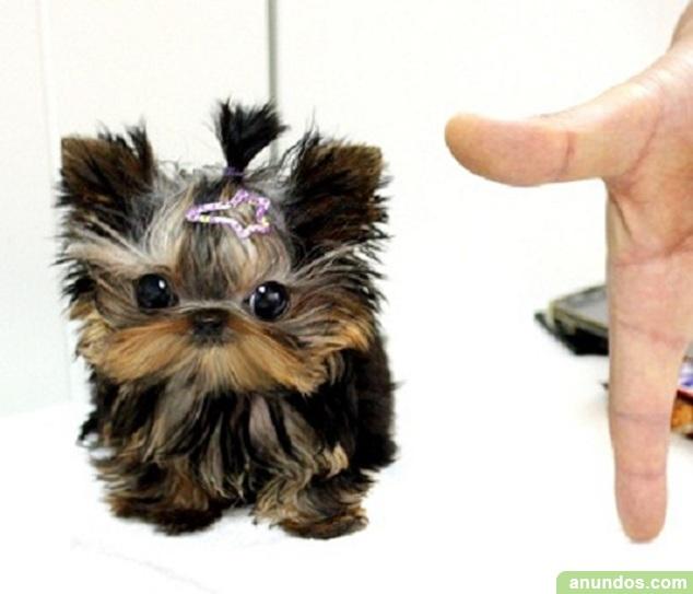 Regalo Lindo Mini Yorkshire Terrier Cachorros Con Vacuna Palmas De