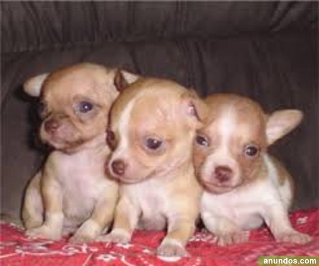 Regalo Chihuahuas De Muy Alta Calidad En Adopcion Palmas De Gran