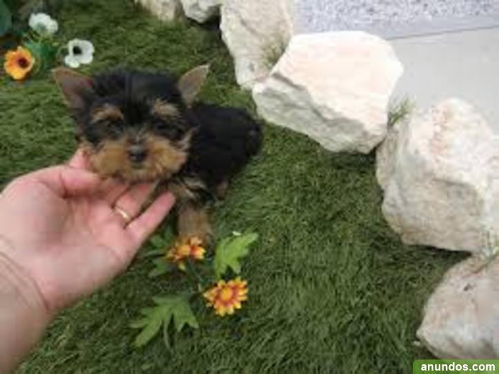 Regalo Preciose Mini Toy Yorkshire Cachorros Moya Las Palmas