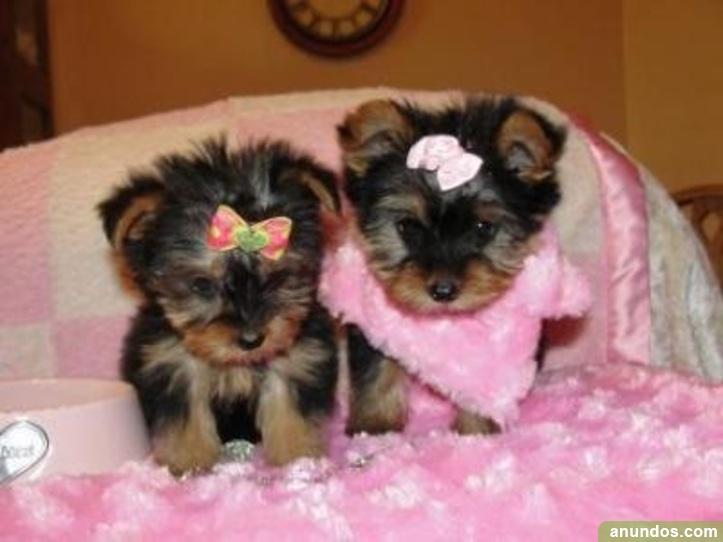 Regalo Yorkshire Terrier Toy 2 Meses Moya Las Palmas