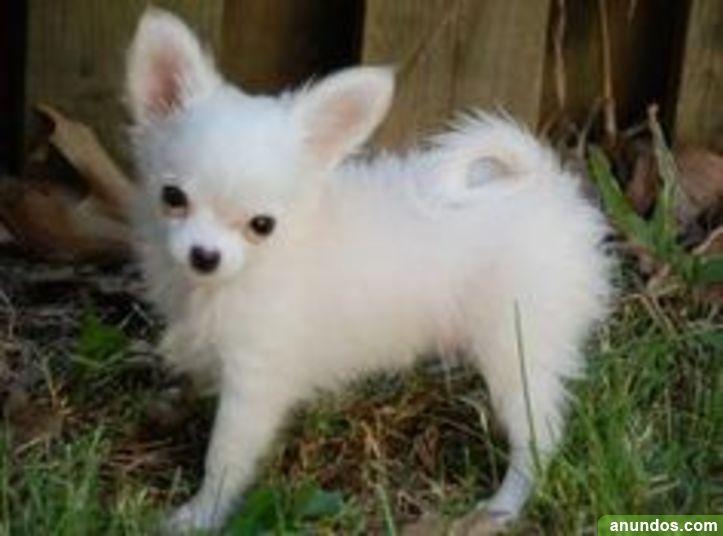 Regalo cachorros hermosos chihuahua con pedigr a for Regalo a chi