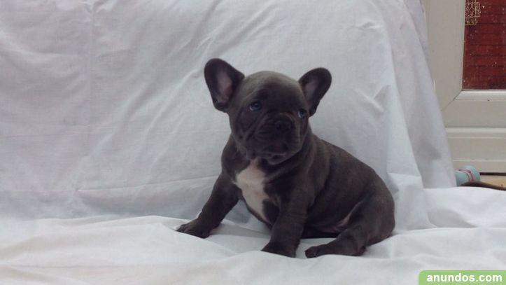 Regalo bulldog franc s cachorros para adopcion gratis - Bulldog frances gratis madrid ...