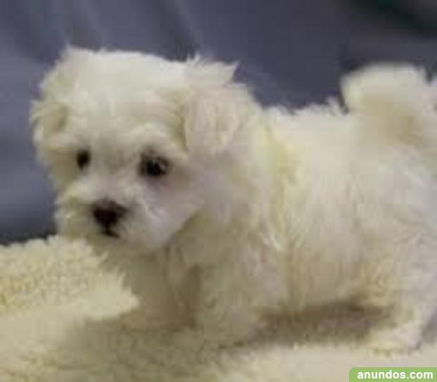 Gratis El Maltipoo Cachorros Disponibles Vimbod I Poblet