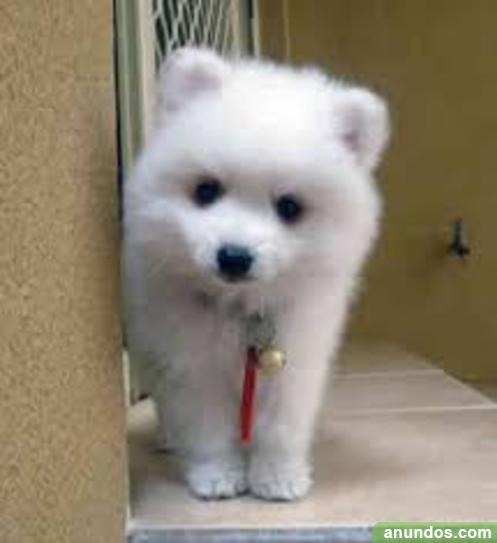 Gratis Pomerania Japon S Cachorro Su Adopcion Sabadell