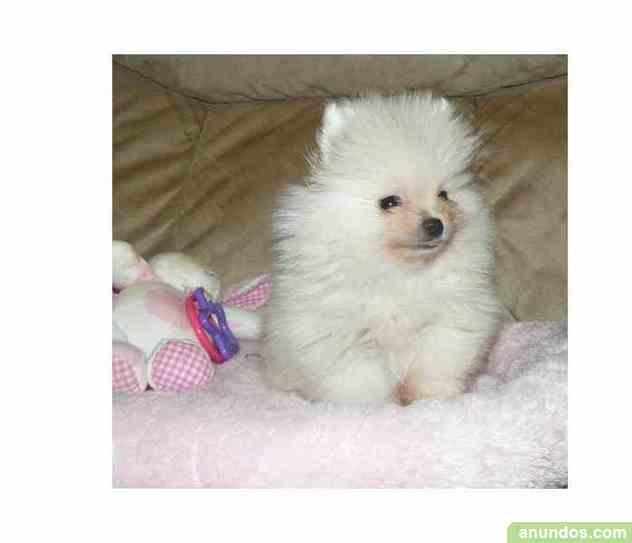 REGALO Cachorros de Pomeranian Para Adopción