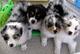 Gratis cachorros pastor australiano disponibles