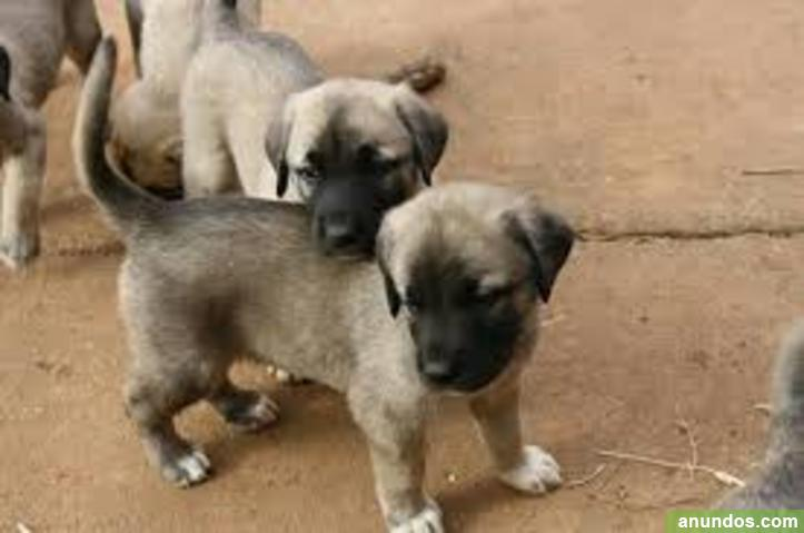 Gratis Kangal Turco Cachorros Lista Albanchez De M Gina