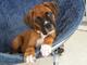 Gratis boxer cachorros disponibles