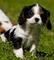 Hermoso cavalier king charles spaniel cachorros disponibles