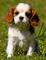 Increíble cavalier king charles spaniel cachorros ..