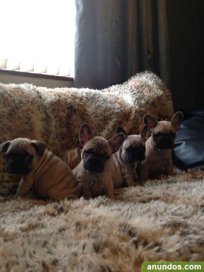 Impresionante camada de 4 cachorros Bulldog francés listo