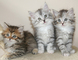 Gratis siberianos gatitos listo