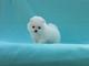 Gratis pequeño, blanco, hielo, blanco, pomeranian, perrito, hembr