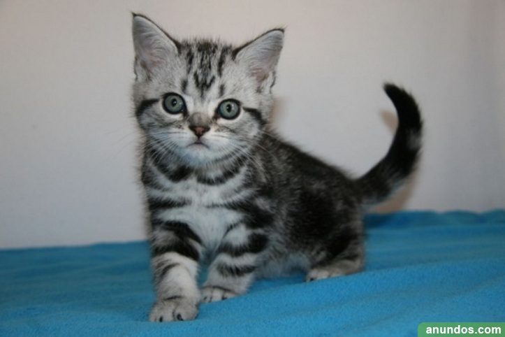 Regalo gato britanico de pelo corto