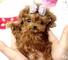 Hermosos cachorros mini caniches disponible!