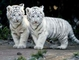 Young white tiger cubs