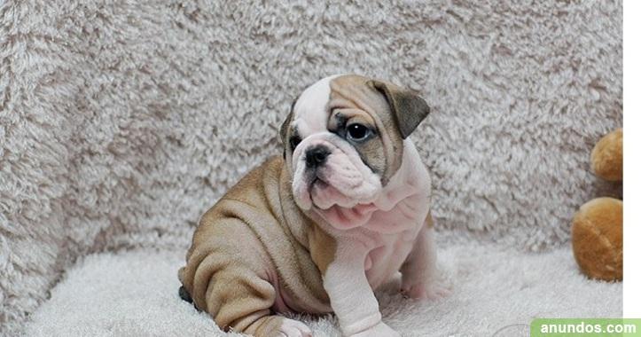 Cachorros Bulldog Inglés con los papeles OFERTA 3