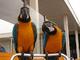Los loros macaw macho y hembra listos para la adopción ahora