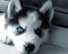 Siberiano husky para adopcion