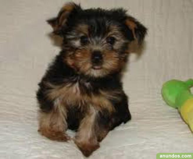 Regalo Dos perritos de yorkie disponibles