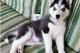 Adorable husky para la adopción