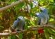 Regalo increíble gris africano loros para su adopción