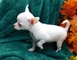 Gorgeous spunky chihuahua cachorros disponibles!