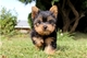 Lindos yorkies cachorros para su aprobación