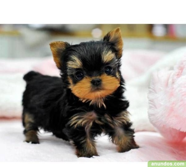 Regalo cachorros toy de yorkshire terrier k2