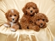Regalo bien socializados cachorros caniche para usted