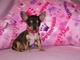 ..regalo perfectamente hermosos cachorros de chihuahua 1 foto