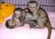 Monos vacunados y bebés chimpancés en venta