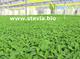 Plantas de stevia rebaudiana bertoni