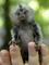 Regalo encantador monos tití