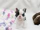 Regalo 4excelentes cachorros bulldog frances 45