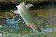 Ahorra en gastos con los criaderos de tilapia