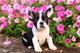 Cachorros de bulldog francés guapo