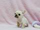 Increible camada bulldog frances para adopcion 12