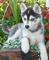 Lindos ojos azules cachorros de husky siberiano disponibles